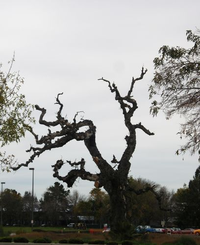 My favorite tree, off Stevens Creek Blvd