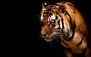 Fearless_and_Beautiful_Tiger_large
