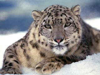 Wild-cats-images-4